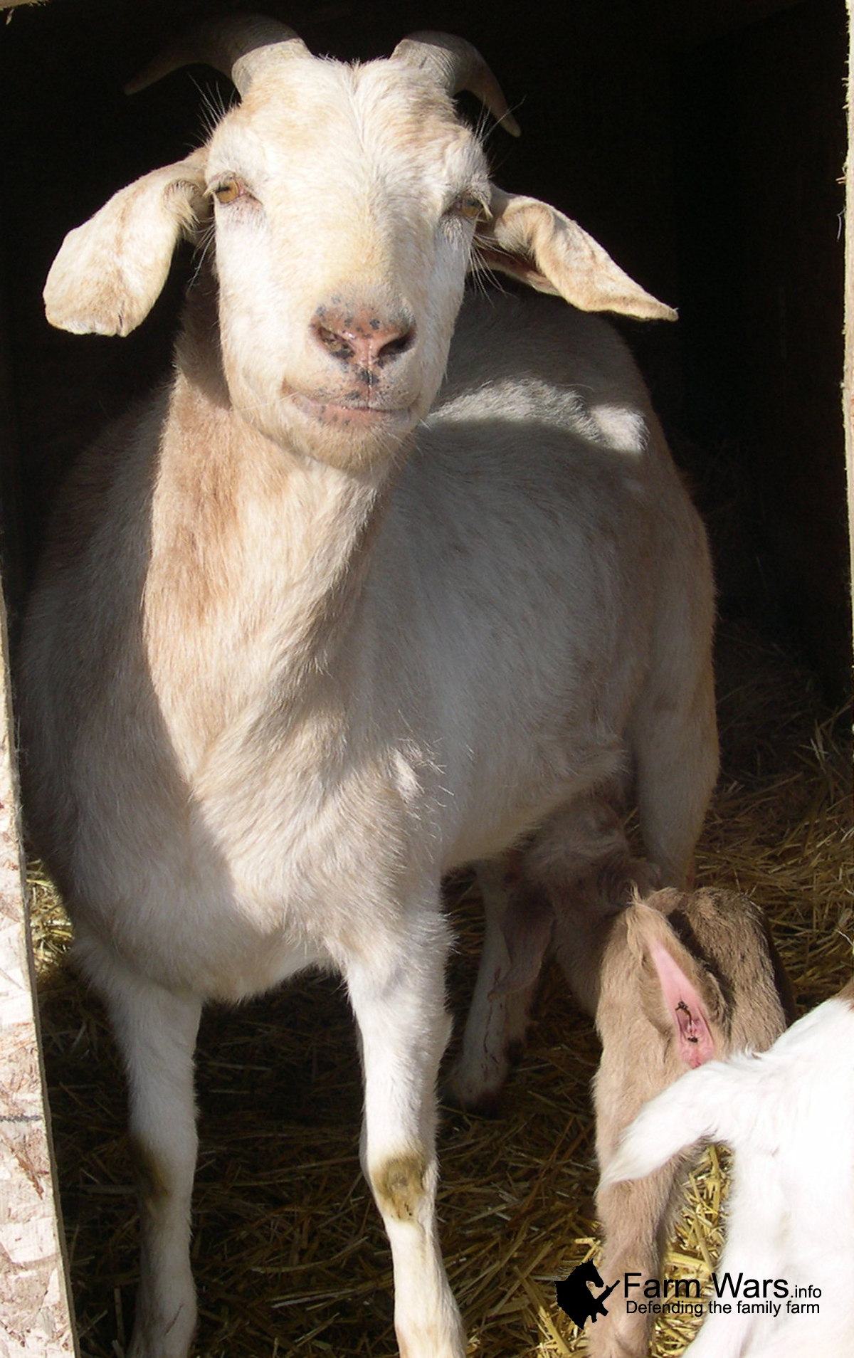 Compatibility Goat and Goat: what are the real prospects