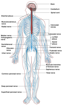 Nervous_system_diagram